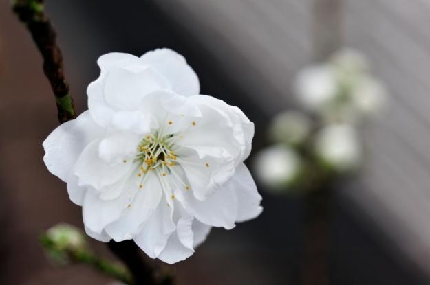 今年も咲いた梅の花