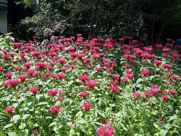 高原に咲く赤い花