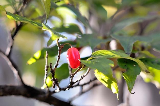 山茱萸 - さんしゅゆの実