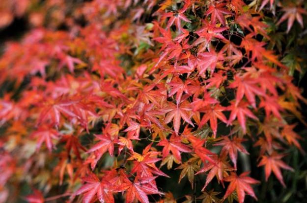 雨の紅葉も綺麗です