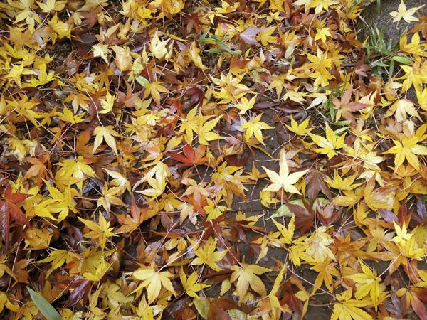 雨に濡れた紅葉が綺麗
