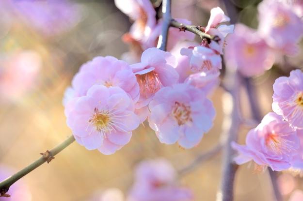羽根木公園の梅まつり