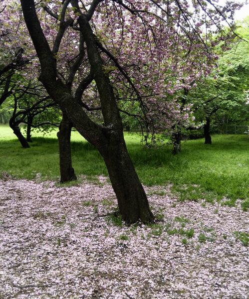 人のいない公園は花が散って静かでした。